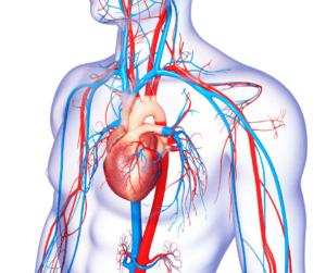 serce pompujące krew i naczynia